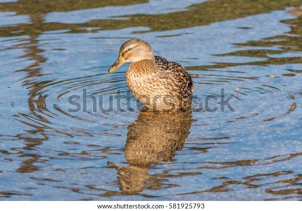 Bathing female Mallard Duck England