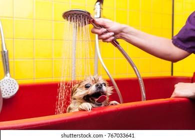 Bathing of the funny pomeranian dog. Dog taking a bubble bath. Grooming dog.