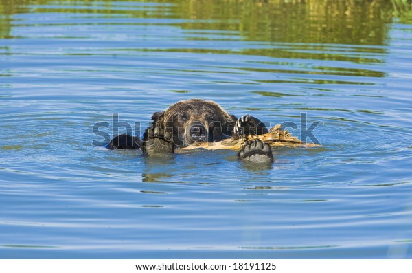 Bathing Grizzly bear in hot summer day.