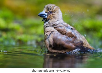 The Bathing of Hawfinch
