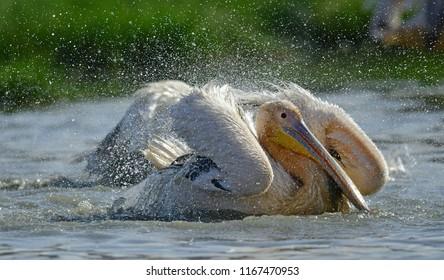 Bathing pelicans. Great White Pelicans on the shore of Natron lake. Scientific name: Pelecanus onocrotalus. Natron. Tanzania.