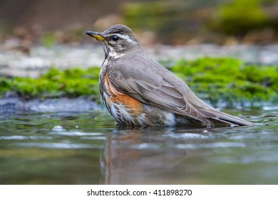 Bathing of The Redwing