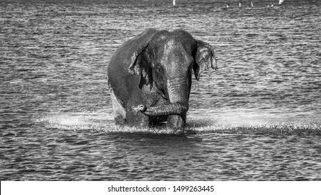 Bathing wild elephant in black and white,  splashing water from its trunk at Kaudulla,  Sri Lanka.  Sri Lankan elephants are endangered due to mostly human activities and losing their natural habitat