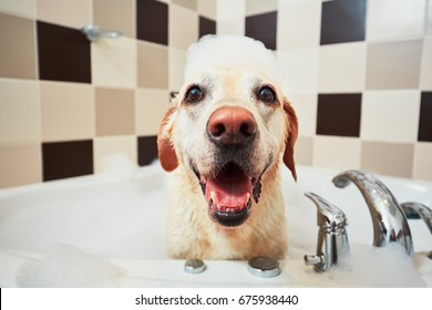 Bathing of the yellow labrador retriever. Happiness dog taking a bubble bath.