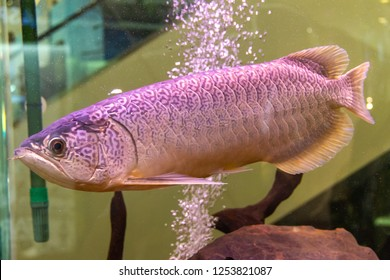 Batik Arowana or Mynmar Arowana (Scleropages inscriptus) a new species of Arowana