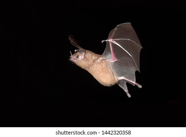 Bats fly at night in Colombia