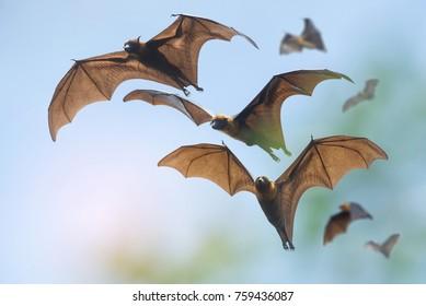 Bats flying on blue sky (Lyle's flying fox)