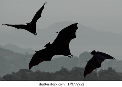 Bats flying at sunset