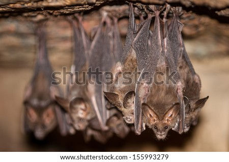 Bats hang from the ceiling of a dark cave in the Mergui Archipelago, Myanmar. This remote area is difficult to get to and is seldom visited by tourists.