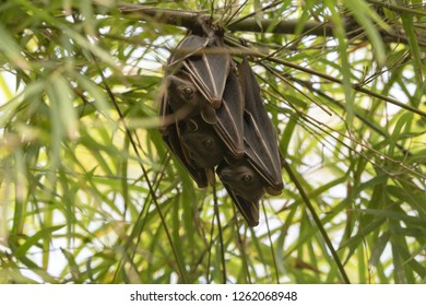 Bats hanging on bamboo tree