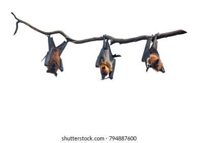 Bats Hanging from Tree Branch isolated on white background