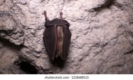 Bats sleep in dungeon upside down, wrapped in wings like black cloak, like devil in darkness. Horseshoe-nosed bat (Rhinolophus ferrumequinum); wings cover sides, tail webbing overhand - like mussel