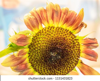 Battered, fading, decaying sunflower still has offbeat beauty
