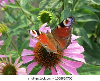 batterfly on a pink flower
