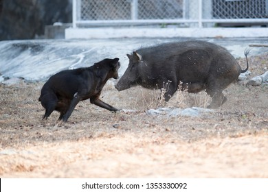 Wild Boar Hunting Dog Images, Stock Photos & Vectors