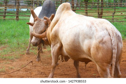 The battle of cattle collided popular sport of local Asian