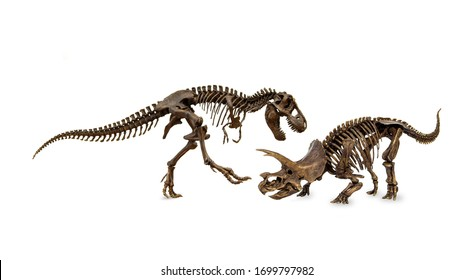 Battle of dinosaurs. Fossil skeleton Cretaceous. Shooting Hunt and Roaring of Tyrannosaurus (T-rex) With threat and self defense of Triceratops. Isolated on white background.