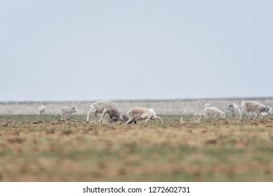 The battle of a powerful males during the rut. Saiga tatarica is listed in the Red Book, Chyornye Zemli (Black Lands) Nature Reserve, Kalmykia region, Russia.
