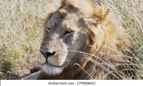 the battle scarred face of a male lion at serengeti national park in tanzania
