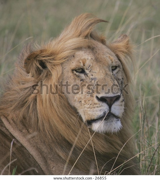 Battle Scarred Lion