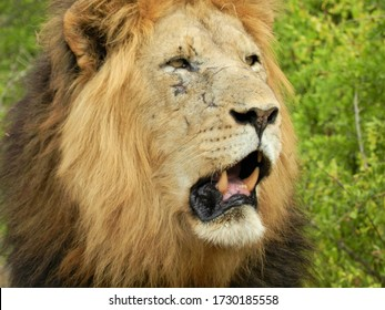 Battle scarred male Lion in Addo