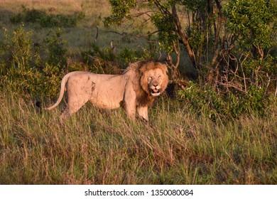 Battle scarred male Lion standing in grass in the Masai Mara, Kenya, Africa.