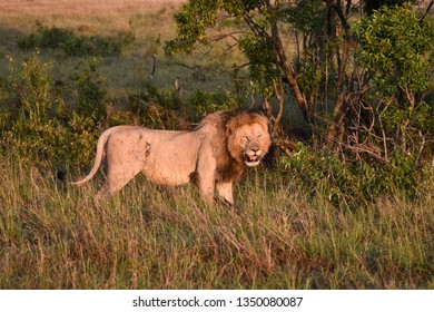 Battle scarred male Lion standing in grass in the Masai Mara, Kenya, Africa.