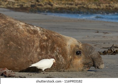 Battle scarred male Southern Elephant Seal (Mirounga leonina) during the breeding season on Sealion Island in the Falkland Islands.