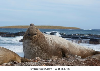 Battle scarred male Southern Elephant Seal (Mirounga leonina) during the breeding season on Sea Lion Island in the Falkland Islands.