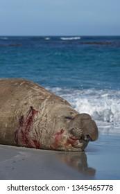 Battle scarred male Southern Elephant Seal (Mirounga leonina) during the breeding season on Sea Lion Island in the Falkland Islands.