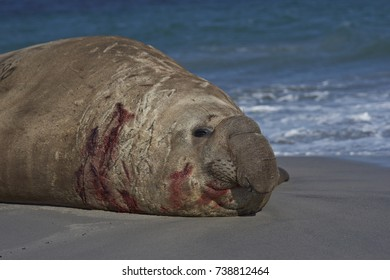 Battle scarred Male Southern Elephant Seal (Mirounga leonina) lying on a sandy beach on Sea Lion Island in the Falkland Islands.
