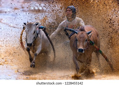 BATU SANGKAR WEST SUMATERA, INDONESIA - NOVEMBER 10TH : A jockey steers the cows during the traditional cow racing festival or as known as Pacu Jawi on November 2018 in Tanah Datar, West Sumatera.