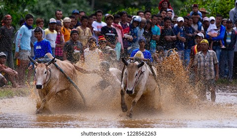 BATU SANGKAR WEST SUMATERA - NOVEMBER 10TH : A jockey spurs the cow during the traditional cow racing festival or Pacu Jawi on November 2018 in Tanah Datar, West Sumatera, Indonesia.