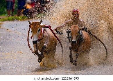 BATU SANGKAR WEST SUMATERA - NOVEMBER 10TH : Jockey spurs the cow during the traditional cow racing festival or Pacu Jawi on November 2018 in Tanah Datar, West Sumatera, Indonesia.