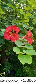 Bauhinia acuminata Linn red plant