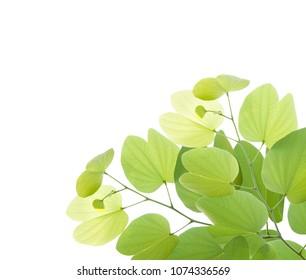 Bauhinia leaf isolated on white background