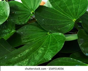 Bauhinia malabarica roxb leaf with rain droplets on dark tone background., natural leaf.