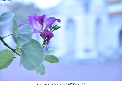 Bauhinia purpurea, a bright purple color on the area laid out against the blurred background of the temple area