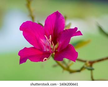 Bauhinia purpurea. Bauhinia purpurea Linn flower