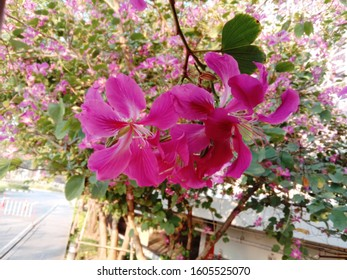 Bauhinia purpurea Linn flowers blooming on green leaves background closeup are pink, purple, fresh purple like orchids and white, a shrub with a mild fragrance throughout the day.