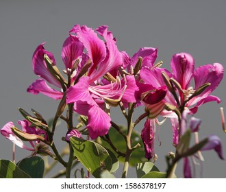Bauhinia purpurea, Purple Orchid Tree, Hong Kong Orchid Tree, Purple Bauhinia, axillary inflorescences and twigs. Petals 5 pink to dark purple, 5 male stamens, 1 stamens in the center of the sunflower