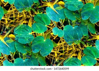 Bauhinia Purpurea (Bauhinia Variegata) fresh green leaves on the branch in yellow narrow leaves background