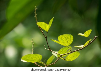 Bauhinia tomentosa variegata in its natural environment  green leafs  back lit selective focus against green foliage background