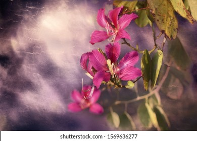 bauhinia variegata (orchid tree) flower, textured background