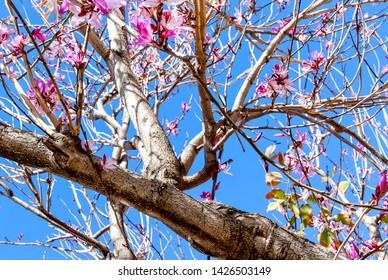 Bauhinia x blakeana flowering tree. Common Names: Blake's Bauhinia, Hong Kong Orchid Tree, Hong Kong Bauhinia, Butterfly Tree.
