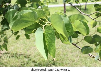 Bauhinia,Bauhinia, genus Bauhinia -- (mountain ebony, orchid tree)