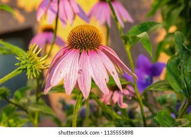 bavaria cottage garden flowers in south german summer evening warm calm atmosphere