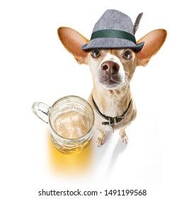 bavarian chihuahua  dog with  gingerbread and  mug  isolated on white background , ready for the beer celebration festival in munich in oktober