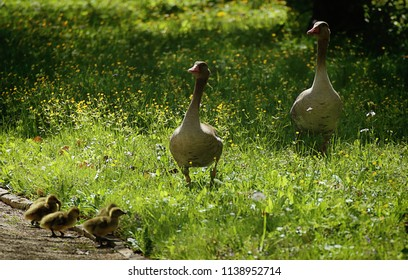 Bavarian countryside, couple of greylag geese walk with dickling in a park in springtime, soft focus, soft focus
