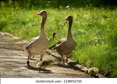 Bavarian countryside, couple of greylag geese walk with dickling in a park in springtime, soft focus